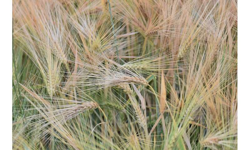 Ancient gene duplication gave grasses multiple ways to wait out winter