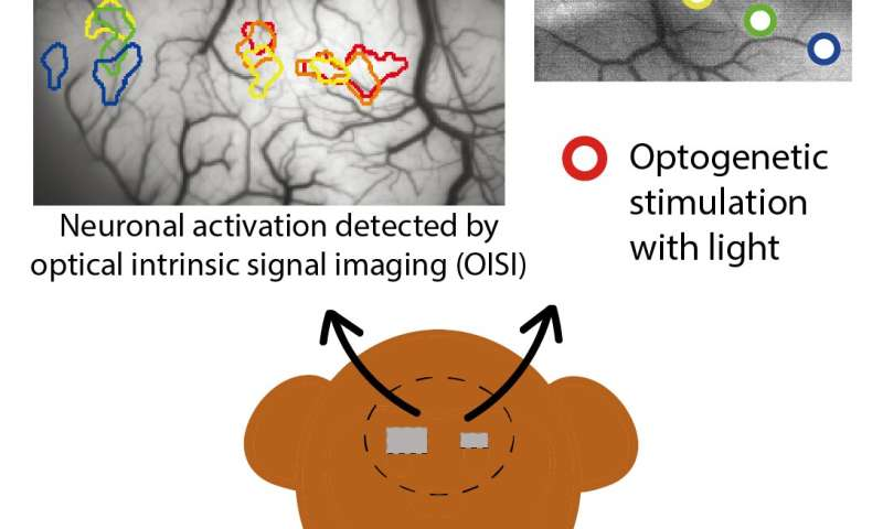 A new window into macaque brain connections
