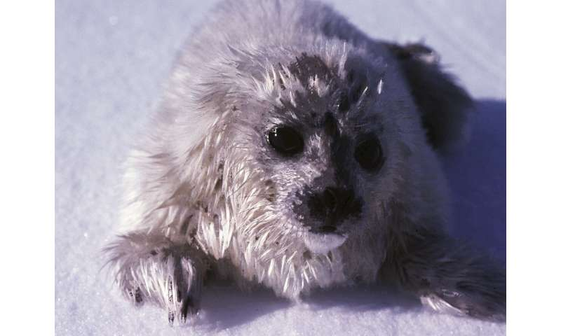 An icy forecast for ringed seal populations
