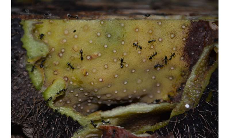 Ant farmers boost plant nutrition