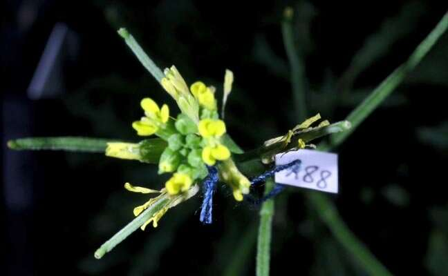 Anther rubbing, a new movement discovered in plants, promotes prior selfing