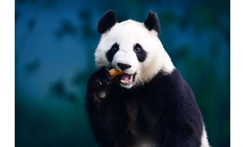 A panda eats at the Shenyang Forest Zoological Garden in Shenyang, in China's northeastern Liaoning province. China has develope