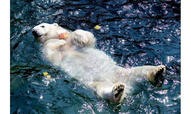 A polar bear at Hanover's zoo took to the water in the heatwave