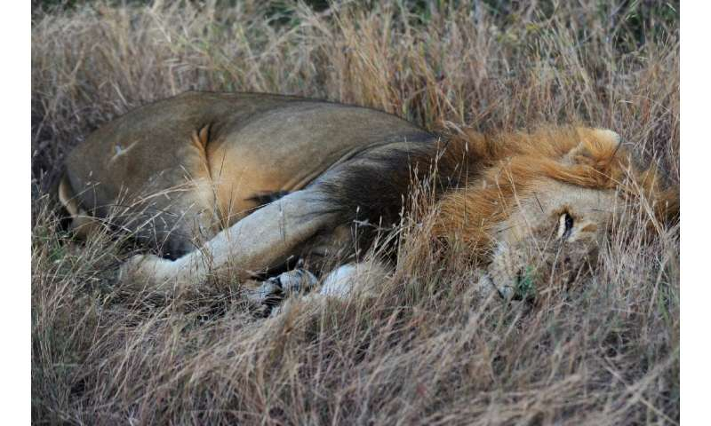 A pride of 14 lions is on the loose near a mining community bordering South Africa's Kruger National Park