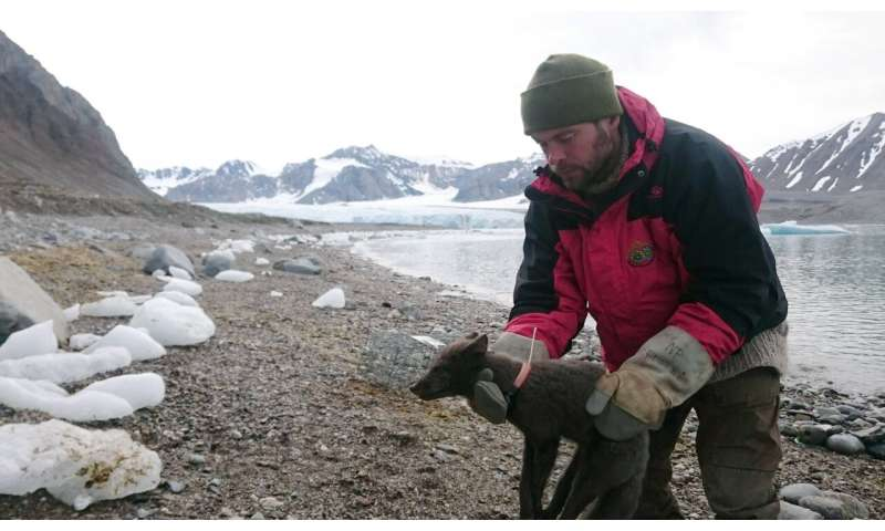 Arctic fox walks more than 2,700 miles from Norway to Canada