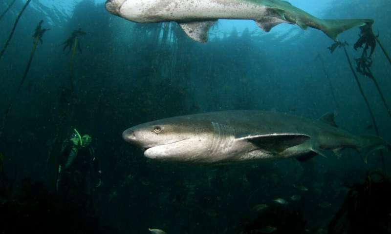 Are sharks being attacked by killer whales off Cape Town's coast?