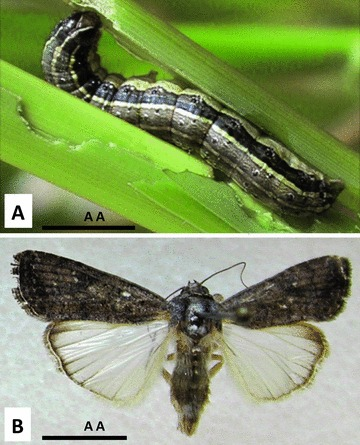 Armyworms on the march post-Tropical Storm Barry
