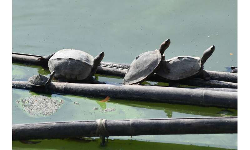 Assam state was once rich in freshwater turtles, but habitat loss and over-exploitation have massively depleted their population