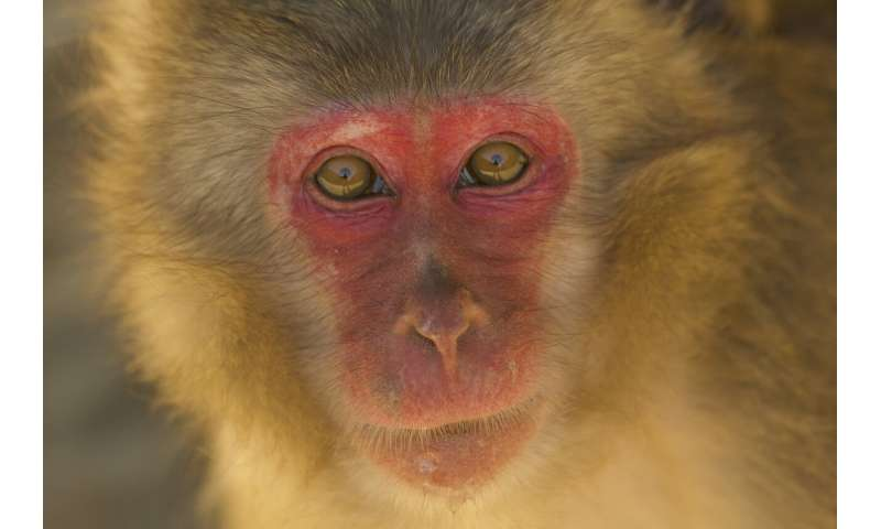 A study in scarlet Japanese macaques