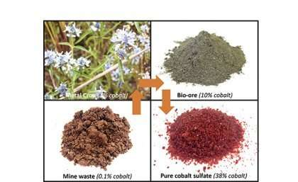 Australian plants extracting high-value metals from mining wastes