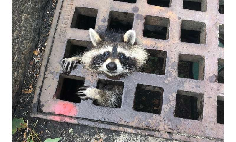 A young raccoon finds itself in a bit of a pinch and in need of rescue