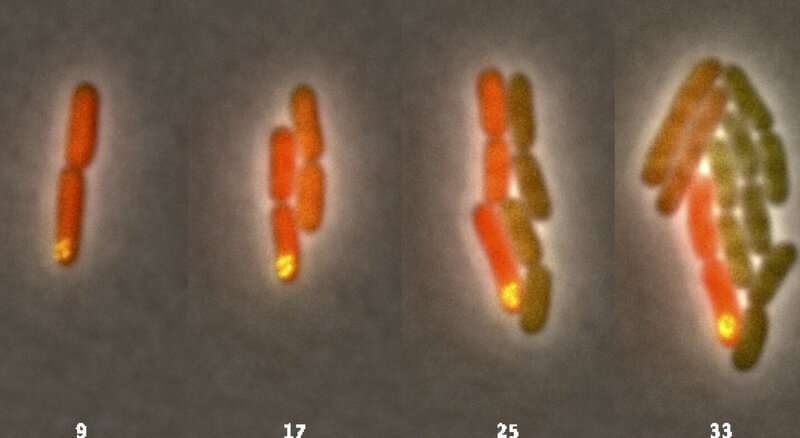 Bacteria made to mimic cells, form communities