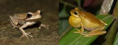 Bacteria may help frogs attract mates