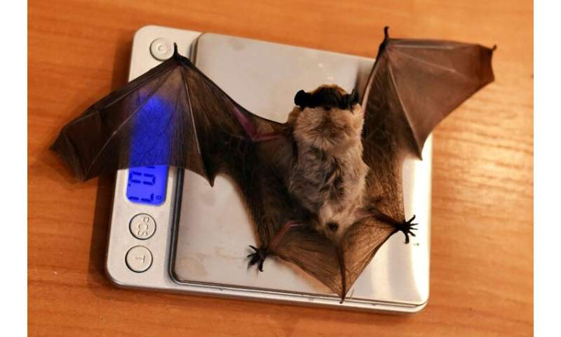 Bats brought to the Minsk rescue centre hibernate there over the winter, then wake in the spring when they are fed, weighed and