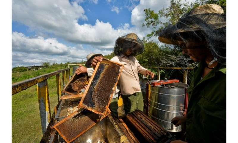 Beekeepers process honeycombs at an apiary in Navajas, Matanzas province, Cuba