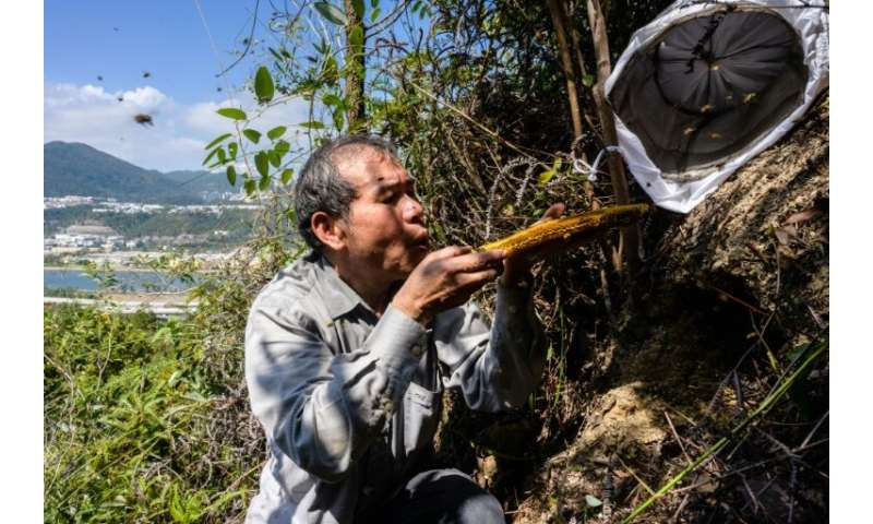 Beekeeper Yip Ki-hok, 62, blows bees off a honeycomb after removing their honey-filled nest on a hillside in Hong Kong.High up i