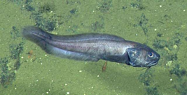 Biologists discover deep-sea fish living where there is virtually no oxygen