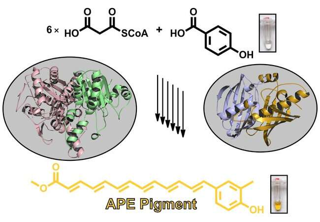 Biosynthesis of widespread pigments from bacteria revealed