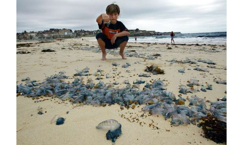 Bluebottle stings are a frequent occurrence in Australia