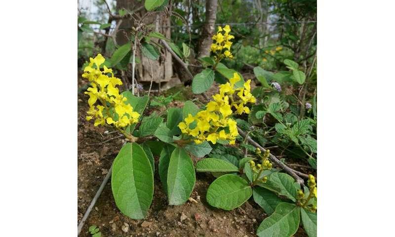 Brazil-endemic plant genus Mcvaughia highlights diversity in a unique biome