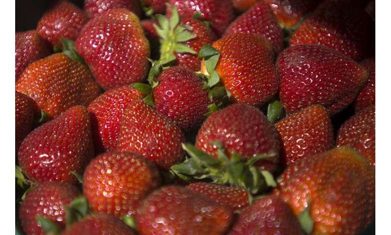 Breeding a better strawberry