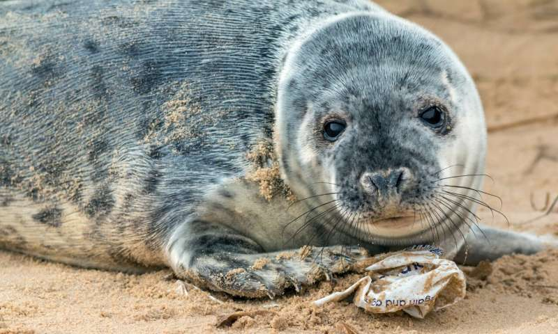 Britain's grey seal colony hotspots threatened by microplastics
