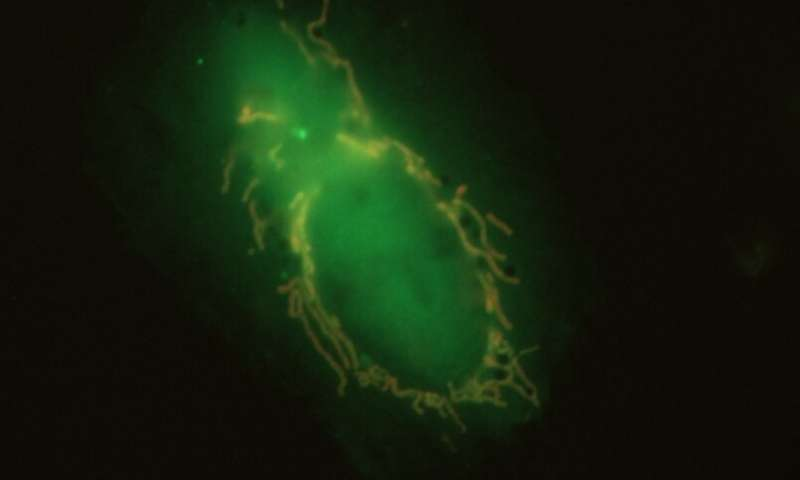 Broken mitochondria use 'eat me' proteins to summon their executioners