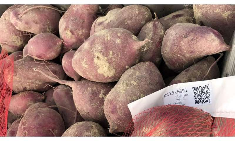 Can sweet potatoes save the world?