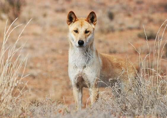 Careful using that f-word to describe dingoes, study warns
