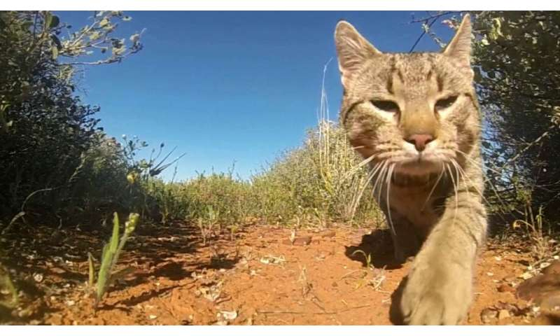 Cats kill more than 1.5 billion native Australian animals per year