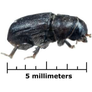 Chemicals found in fungus could help in battle against mountain pine beetle