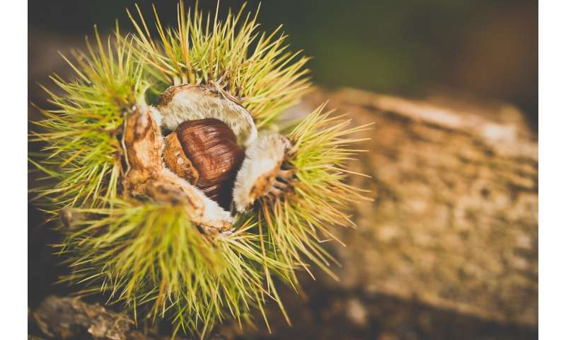 Should we resurrect the American chestnut tree with genetic engineering?