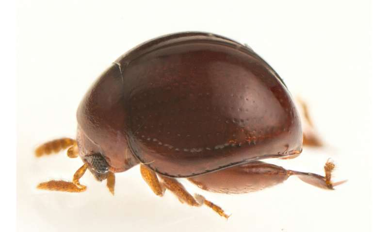 Citizen scientists discover pinhead-sized beetle in Borneo