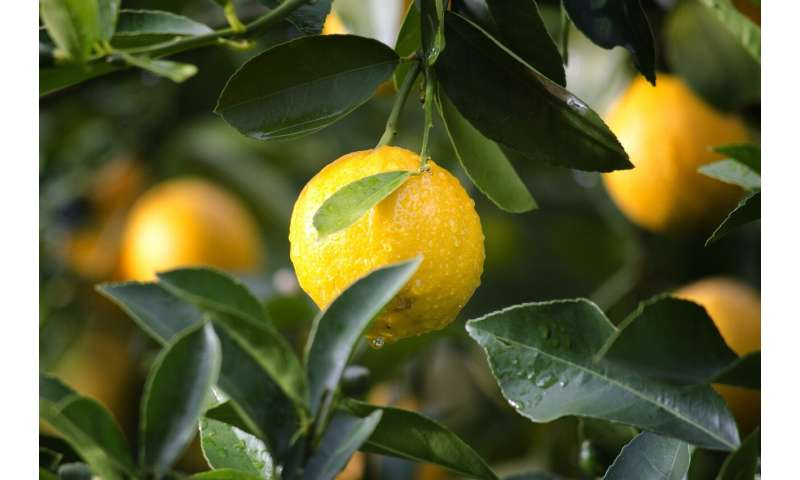 Potential treatments for citrus greening