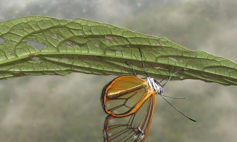 Clearwing butterfly wins BMC Ecology Image Competition 2018