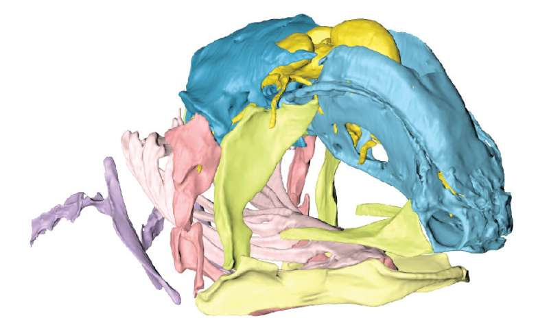 Coelacanth reveals new insights into skull evolution