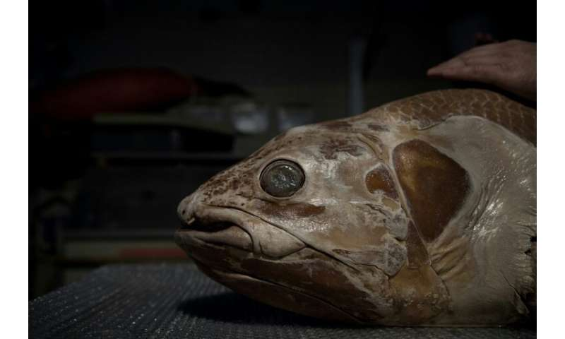Coelacanths were long thought to have disappeared with the  dinosaurs but in 1938 an angler caught one off the coast of South Af
