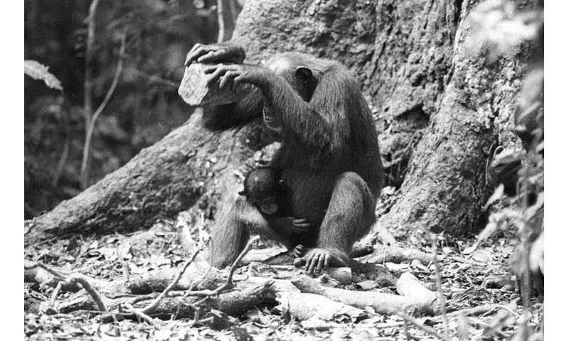 Competent chimpanzee nutcrackers