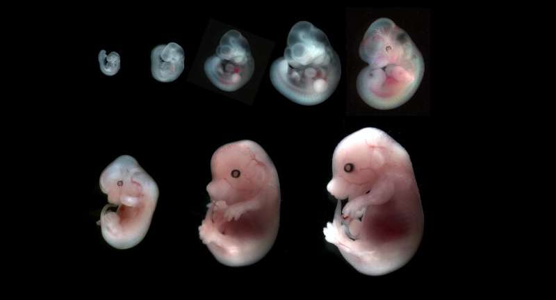Controlled hydraulic fracturing sculpts mammalian embryos into shape