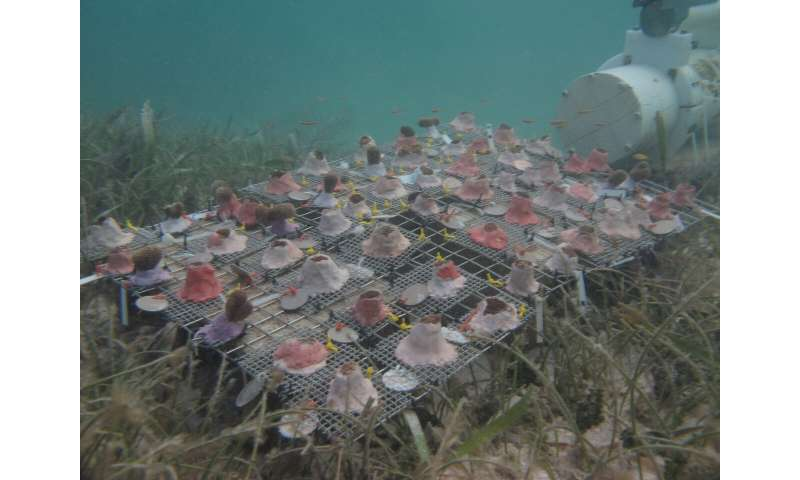 Corals can survive in acidified ocean conditions, but have lower density skeletons