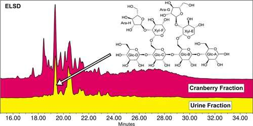 Cranberry oligosaccharides might help prevent UTIs