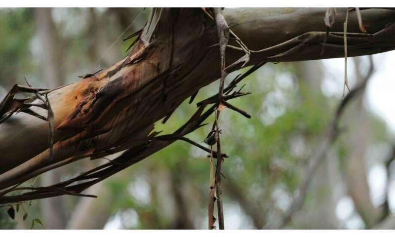 Critically endangered birds still alive on King Island