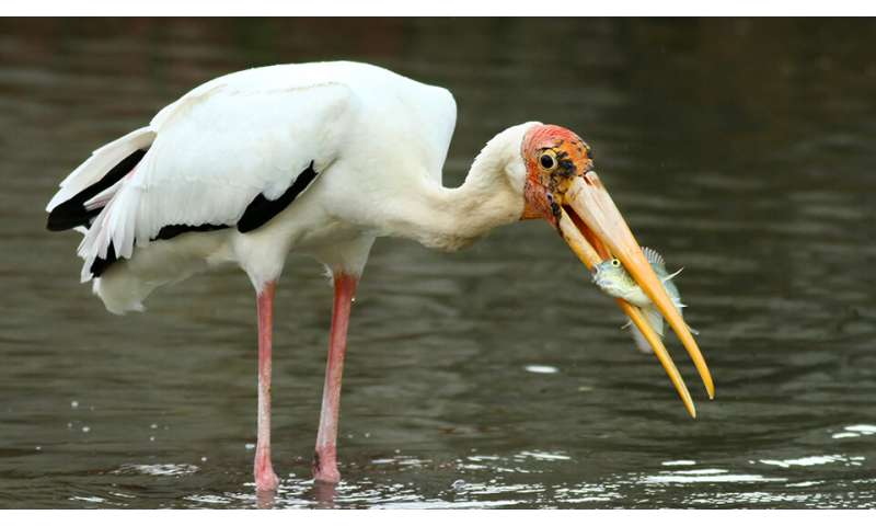 Crossbreeding threatens conservation of endangered milky storks