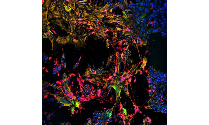 Cultured stem cells reconstruct sensory nerve and tissue structure in the nose