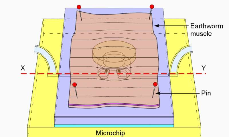 Cyborg-like microchip valve driven by earthworm muscle