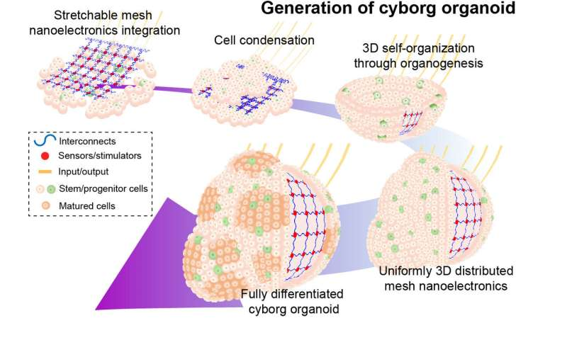 Cyborg organoids offer rare view into early stages of development