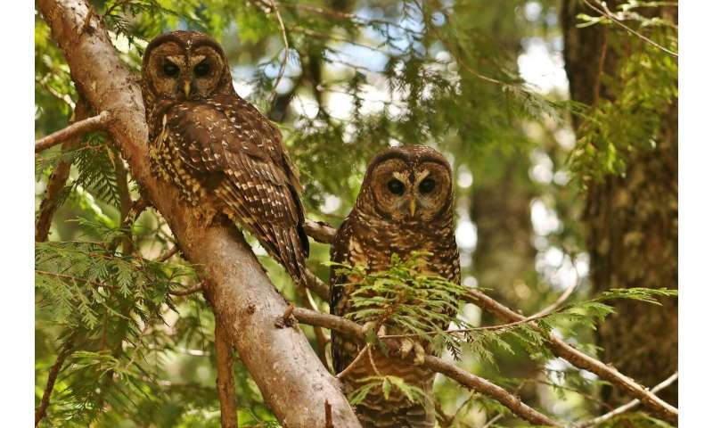 Despite habitat protection, endangered owls decline in Mount Rainier National Park