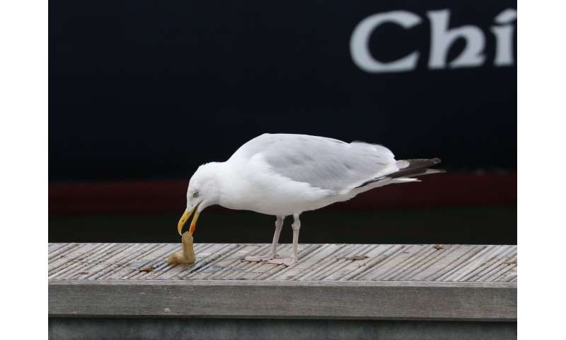 Dexterous herring gulls learn new tricks to adapt their feeding habits