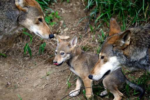 DNA of wolf declared extinct in wild lives on in Texas pack
