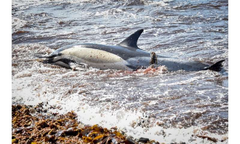Each year since 2017, a record number of dead dolphins have washed up on France's Atlantic coast between January and April, the